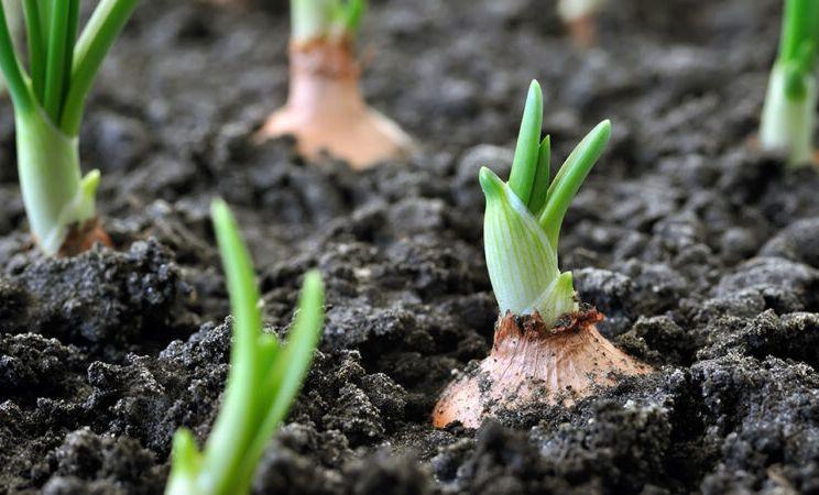 onion plants in soil
