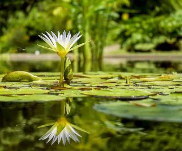 lotus in river